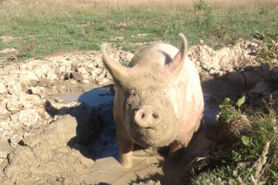Shop Butchery - Pigs